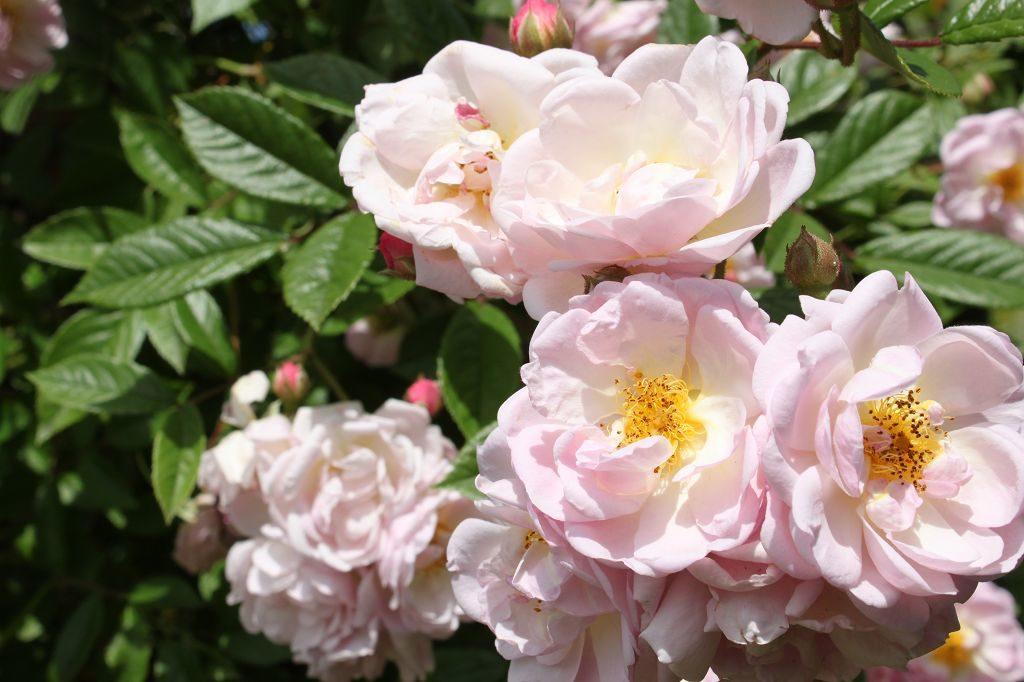 Blüten der Rose