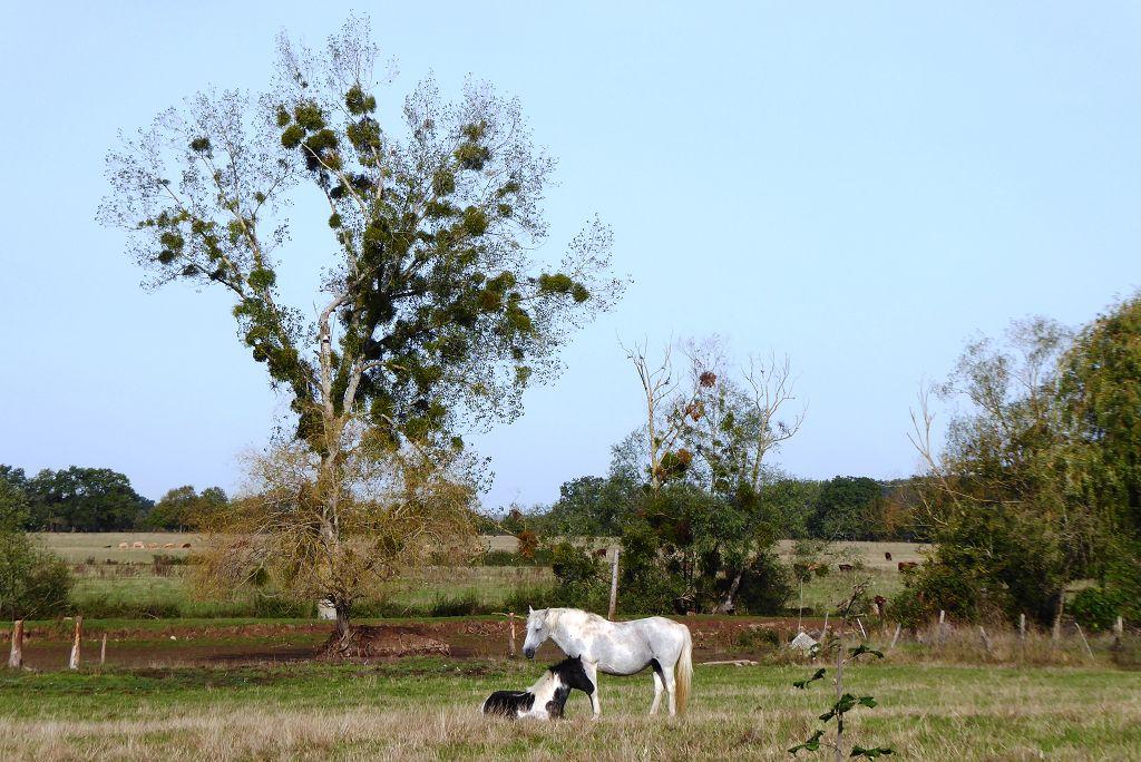 Baum mit Mistel