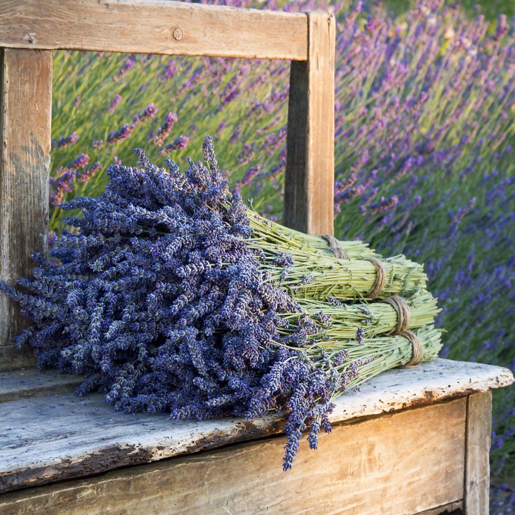 Lavendel zum trocknen