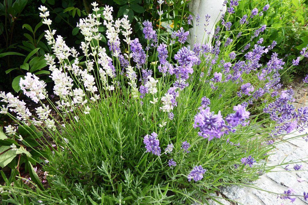 Lavendelarten