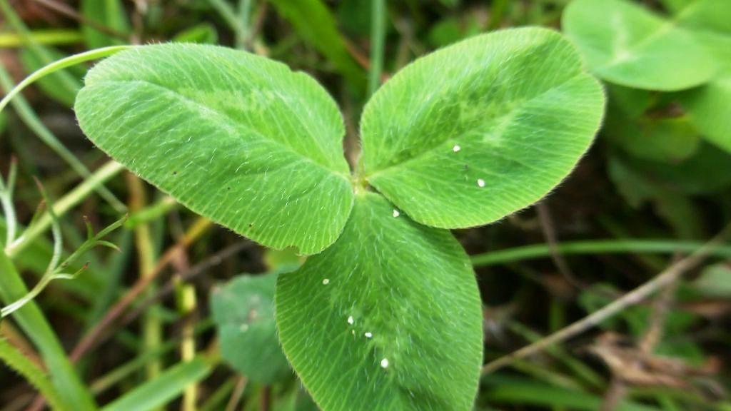 Blätter vom Rotklee
